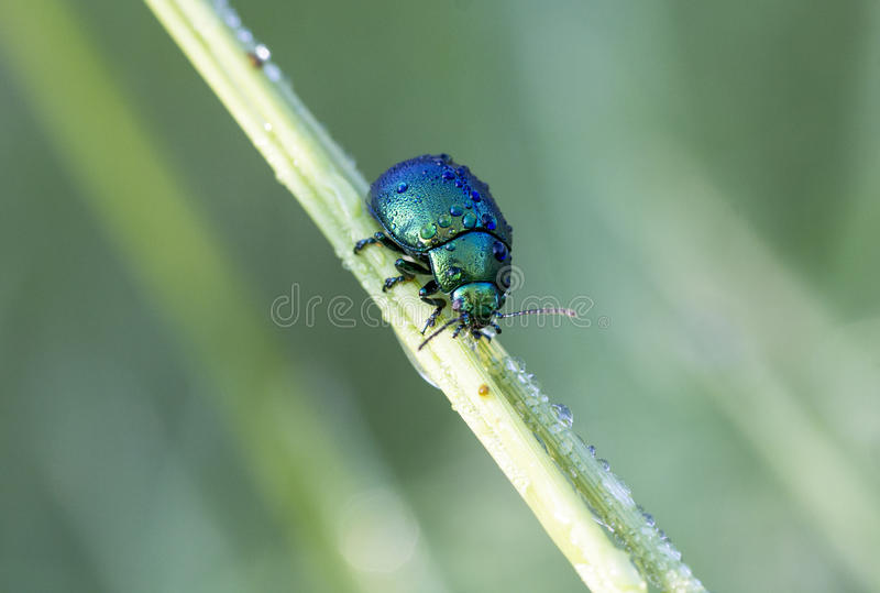 Chrysolina royalty free stock images