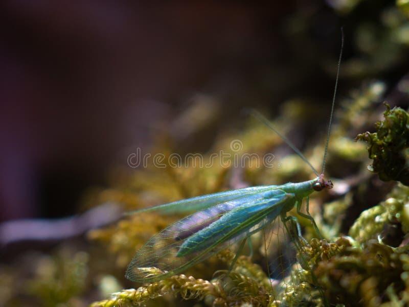 Chrysopa, genre de macro de lacewings verts images libres de droits