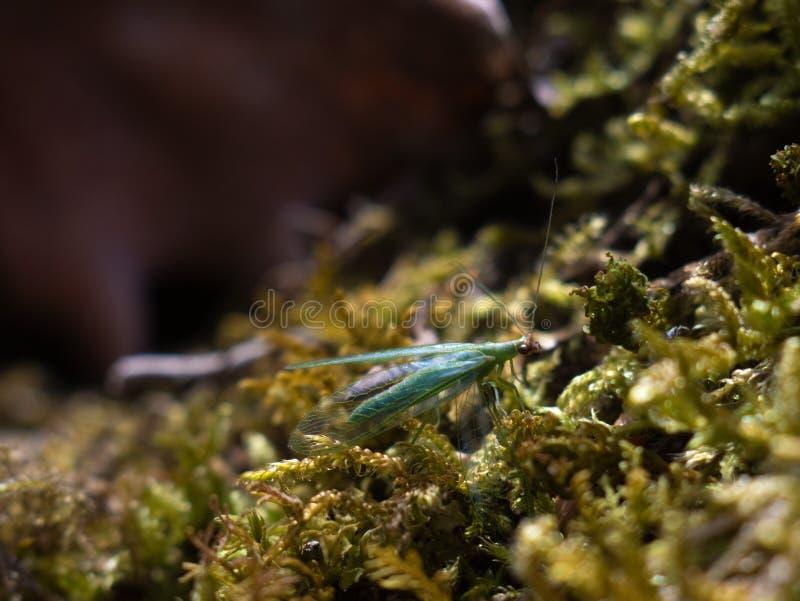 Chrysopa, Klasse von grüne Lacewings Makro lizenzfreie stockfotos