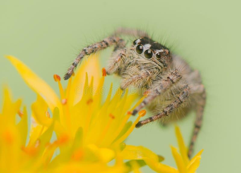 Chrysops de Philaeus - araignée sautante images libres de droits