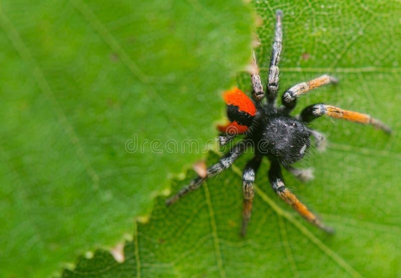 Chrysops de Philaeus - araignée sautante images stock