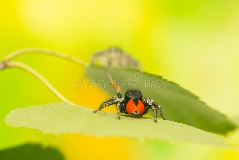 Chrysops de Philaeus - araignée sautante photos stock