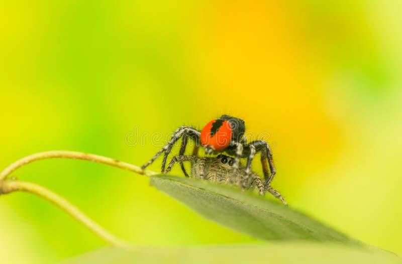 Chrysops de Philaeus - araignée sautante photographie stock libre de droits