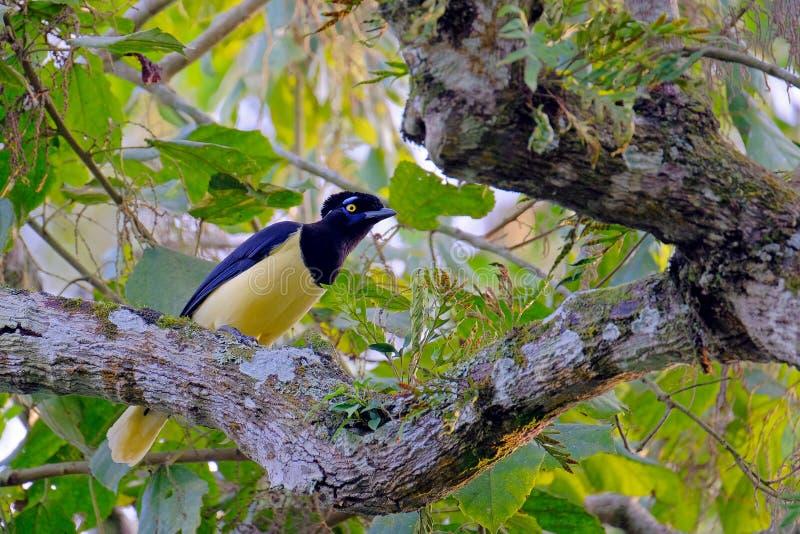 chrysops Luxuoso-com crista do gaio, do Cyanocorax, um amarelo e gaio colorido preto, Foz de Iguaçu, Brasil imagem de stock royalty free