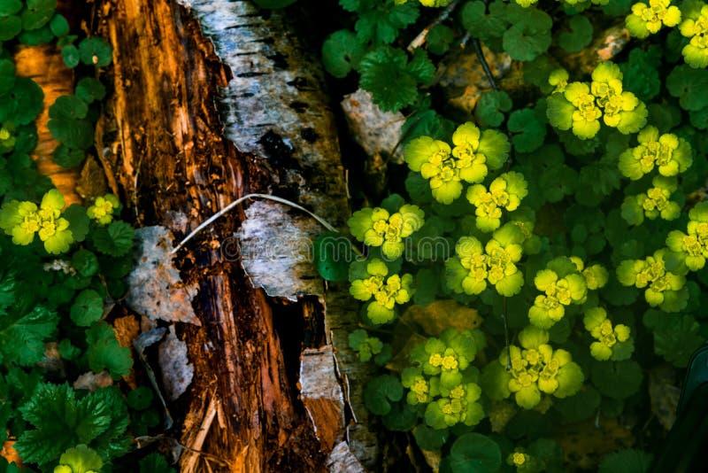 Chrysosplenium alternifolium złotego badanu kwitnienia dzika roślina w lasowej łące zdjęcie stock