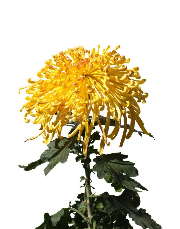 Chrystanthemum amarelo fotografia de stock