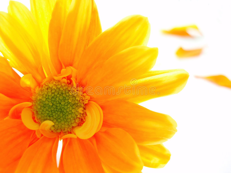 Chrystanthemum jaune et orange images libres de droits