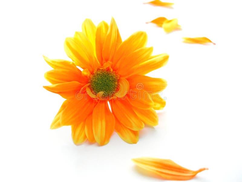 Chrystanthemum jaune et orange image stock