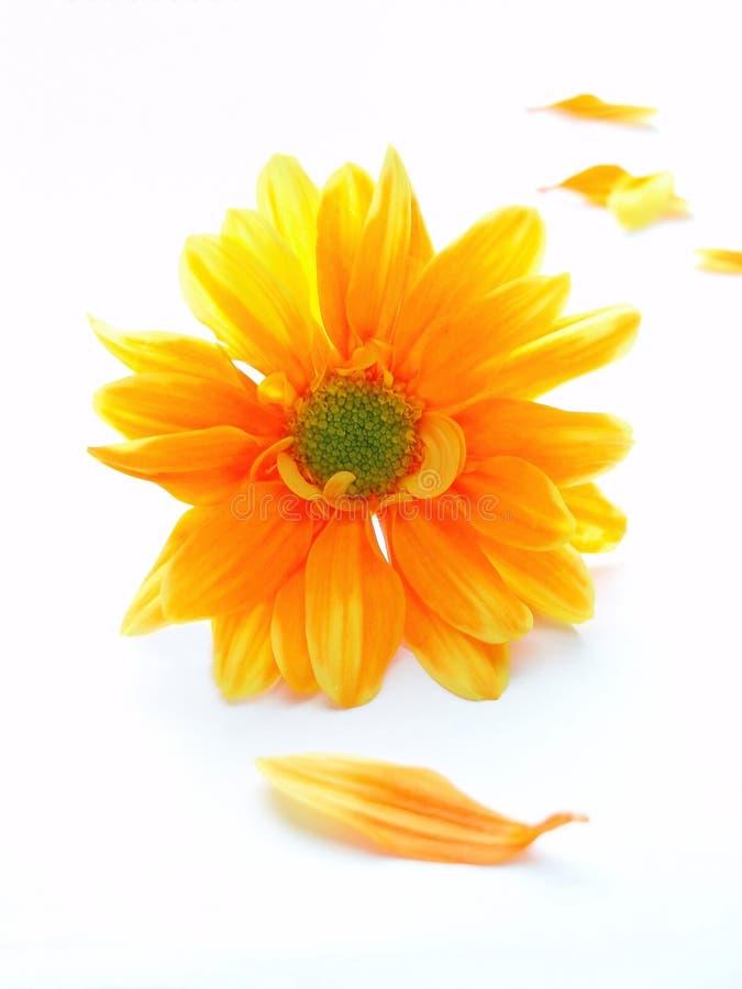 Chrystanthemum jaune et orange photographie stock
