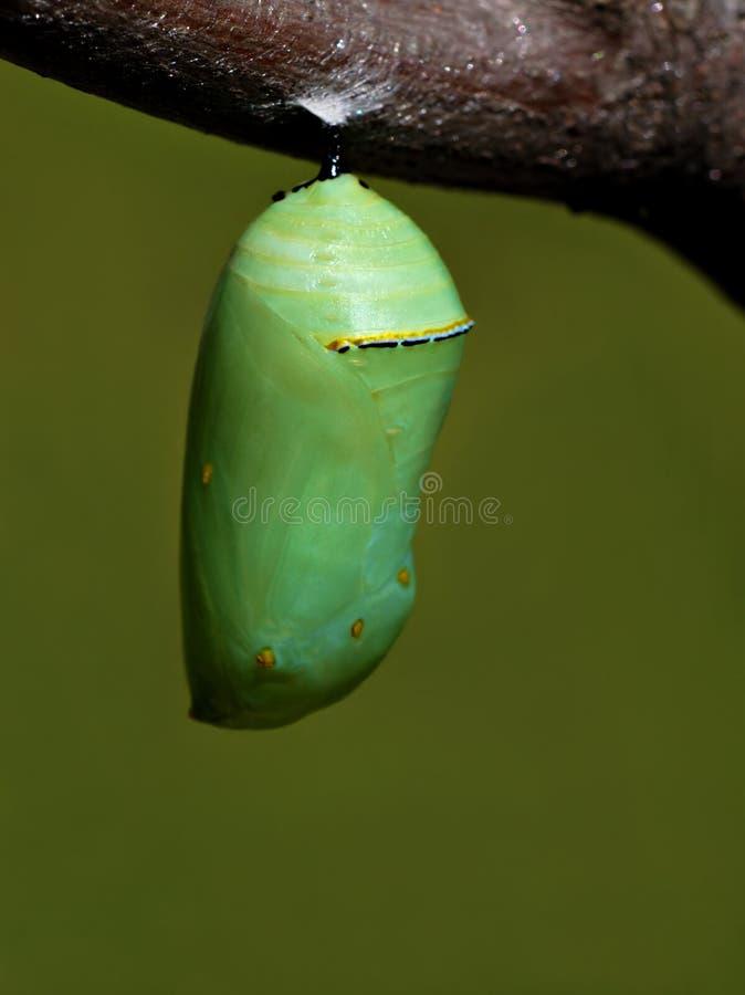 chryzalida monarchów zdjęcia royalty free