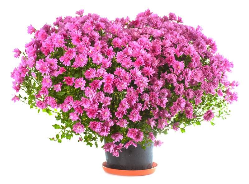 chryzantem kwiatów kierowy kształt fotografia stock