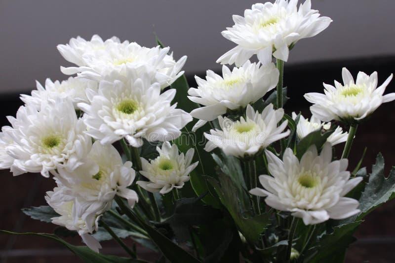 Chryzantema biały kwiat zdjęcia stock