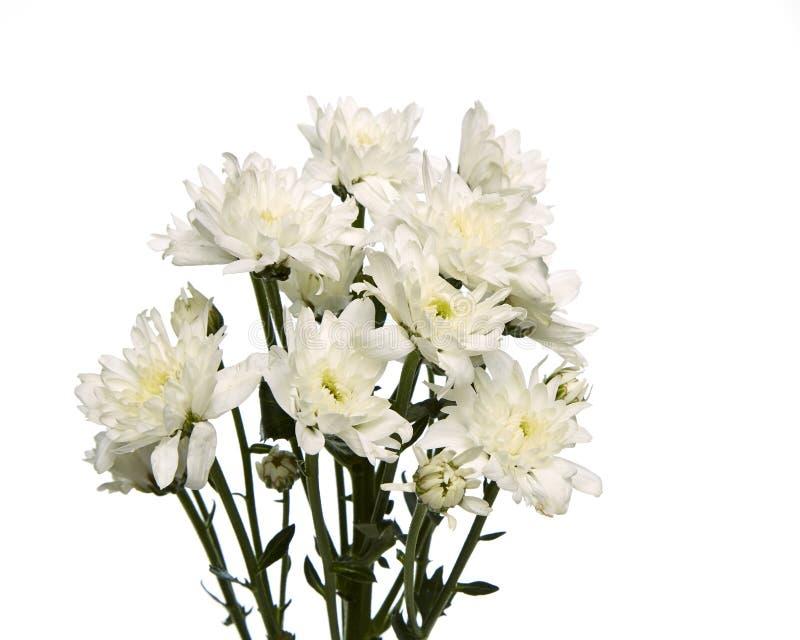 Chryzantema biały kwiat obraz stock