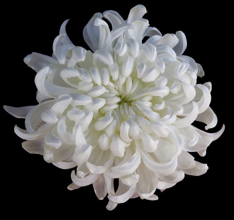 Chryzantema biały kwiat odizolowywający z ścinek ścieżką na czarnym tle Pięknej chryzantemy jasnożółty centrum dla obraz royalty free