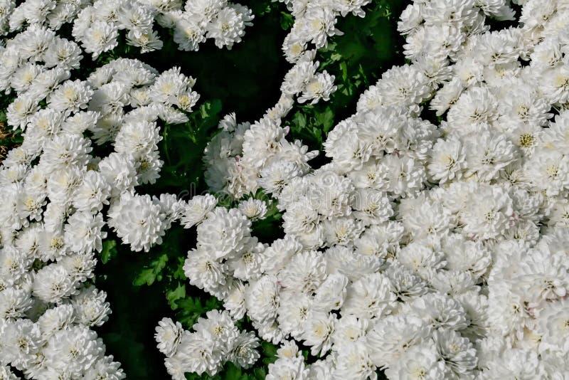 Chryzantema biały kwiat w parku który używa jako tło, zdjęcie royalty free