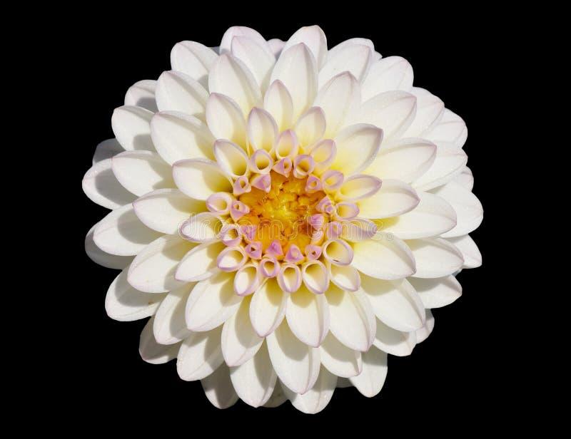 chryzantema biel zdjęcie stock