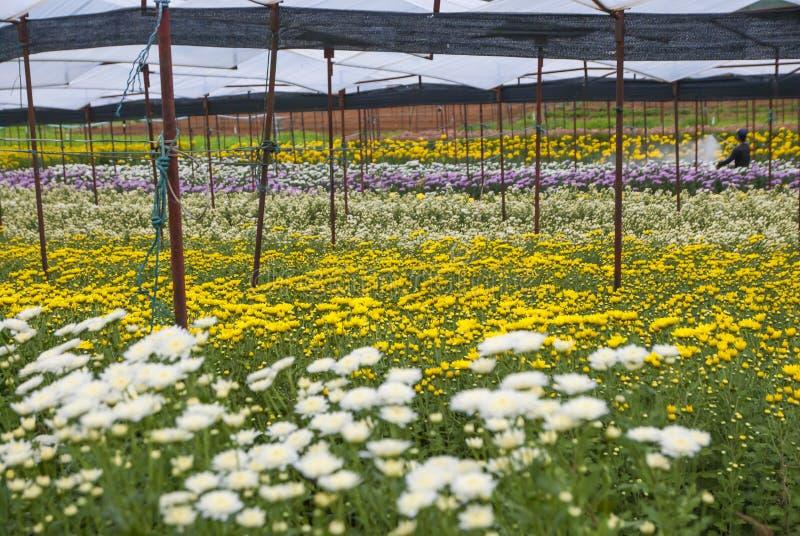 Chryzantema, chryzantemy uprawia ziemię, chryzantemy uprawia ziemię od Tajlandia kraju fotografia stock