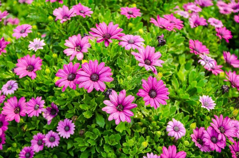 Chryzantema kwiat, zbliżenie purpury z białą chryzantemą kwitnie w pełnym kwiacie zdjęcia royalty free