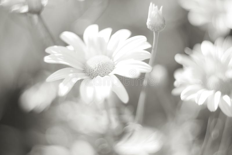 Chryzantema kwiaty jako tła zakończenie up Miękka selekcyjna ostrość czarny white zdjęcia stock