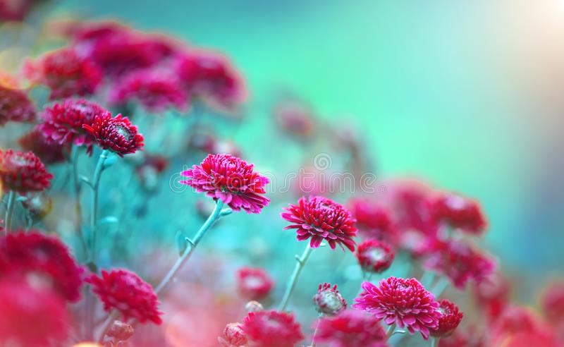 Chryzantema kwitnie kwitnienie w ogródzie Piękno jesieni kwiaty obraz stock