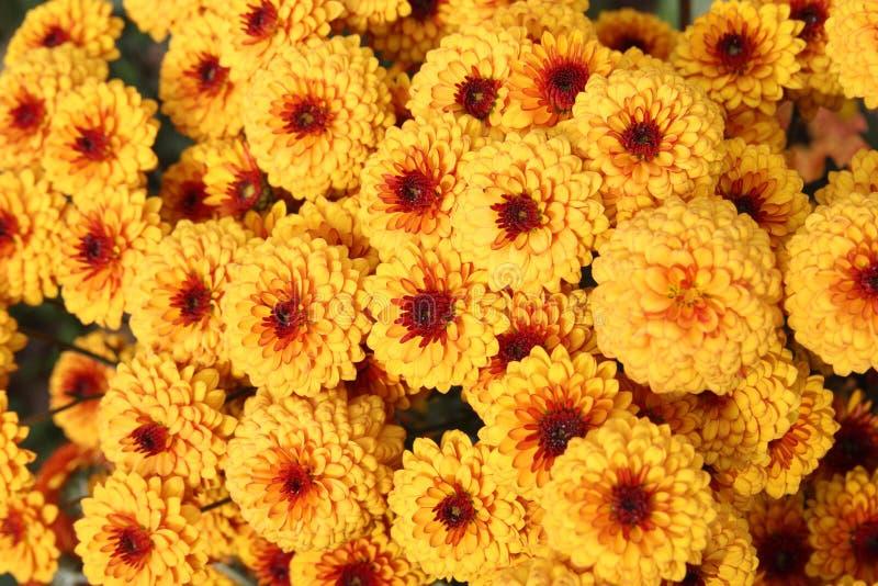 chryzantema kwitnie pomarańcze fotografia royalty free