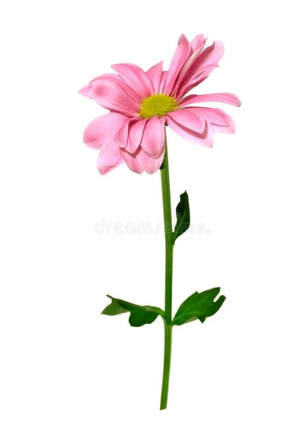 chryzantema odizolowywający różowy biel obrazy stock
