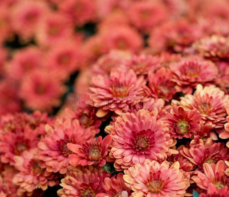 chryzantema piękni kwiaty zdjęcie royalty free