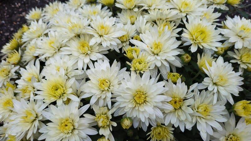Chryzantema wzór w kwiatu parku obraz royalty free