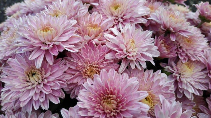 Chryzantema wzór w kwiatu parku zdjęcie stock