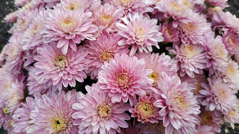 Chryzantema wzór w kwiatu parku zdjęcia royalty free