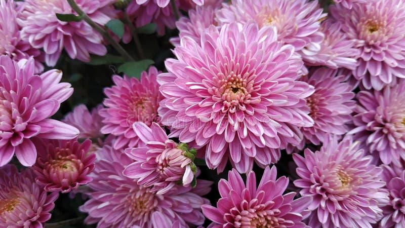 Chryzantema wzór w kwiatu parku fotografia stock