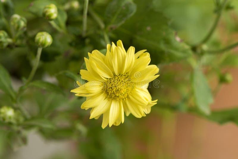 Chryzantemy Dendranthema indicum L Kwiaty zdjęcia stock