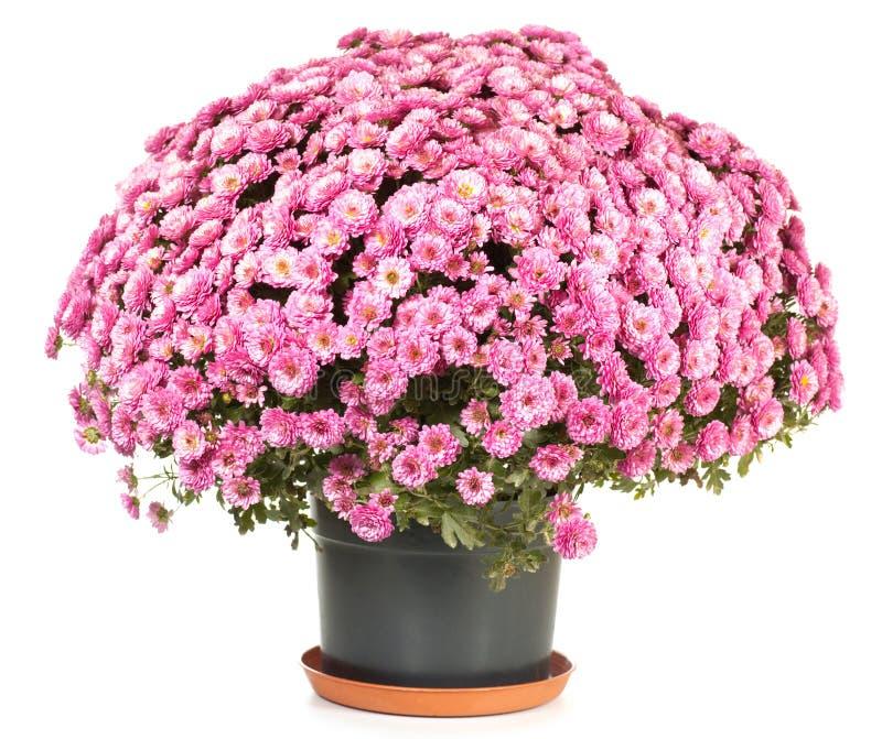 chryzantemy flowerpot obrazy stock