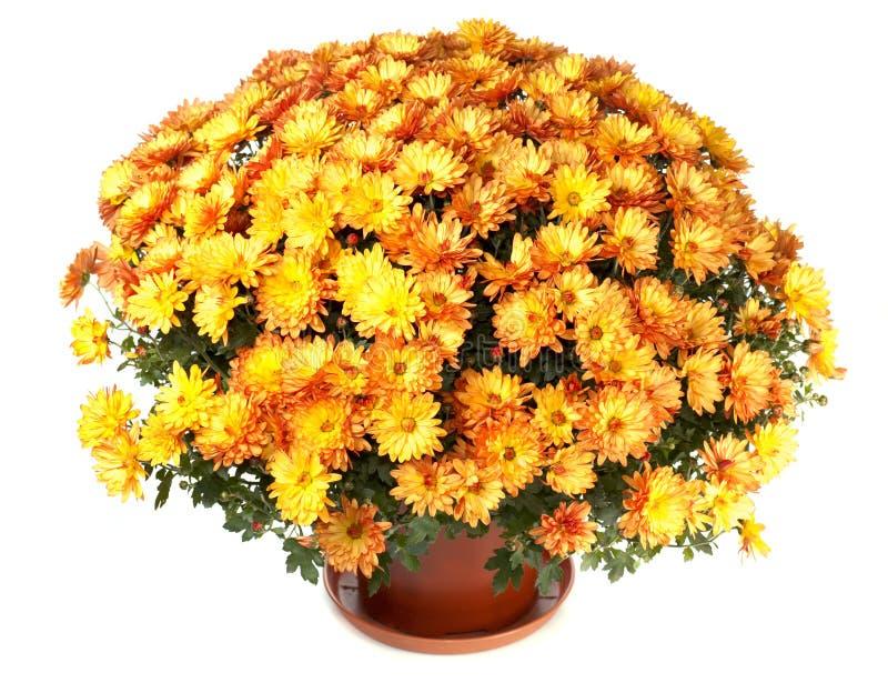 chryzantemy flowerpot fotografia stock