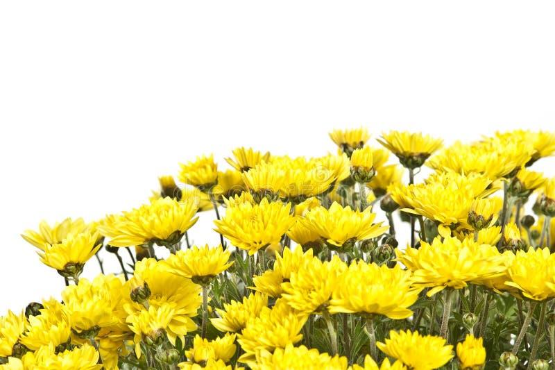 chryzantemy szczegółu kolor żółty obrazy royalty free