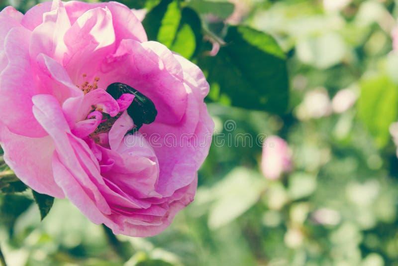 Chrząszcz na różowi różanego w ogródzie zdjęcie royalty free