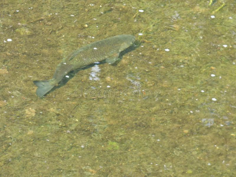 Chub Fish Brook - Reino Unido imagens de stock royalty free