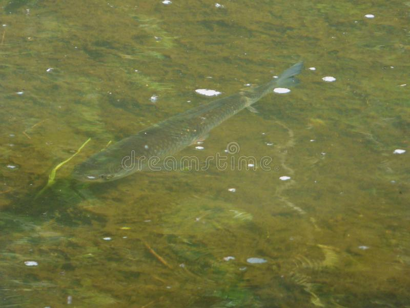 Chub Fish Brook - UK. Chub fish caught in the brook, picture taken in the UK royalty free stock images