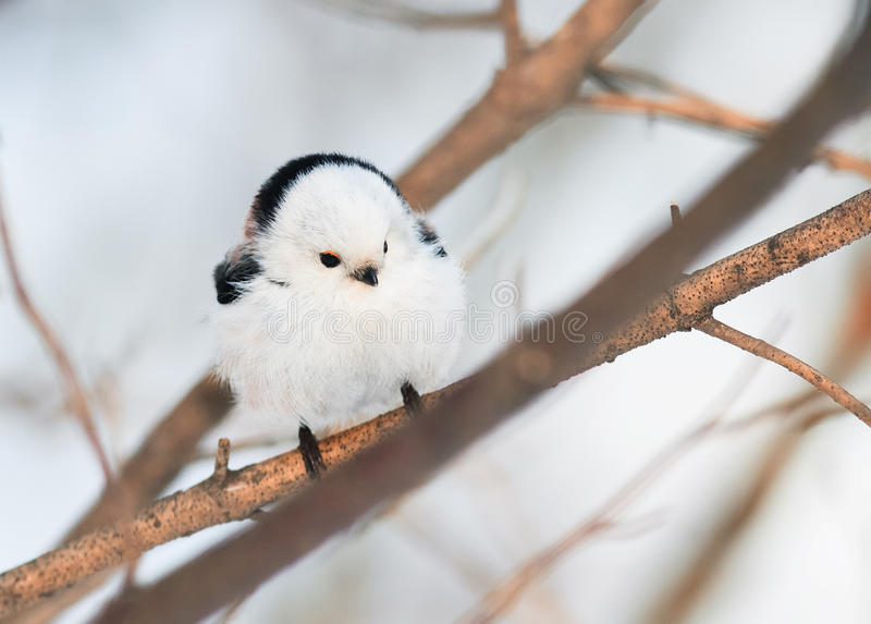 Chubby άσπρη συνεδρίαση πουλιών titmouse σε ένα χειμερινό δάσος στοκ φωτογραφίες