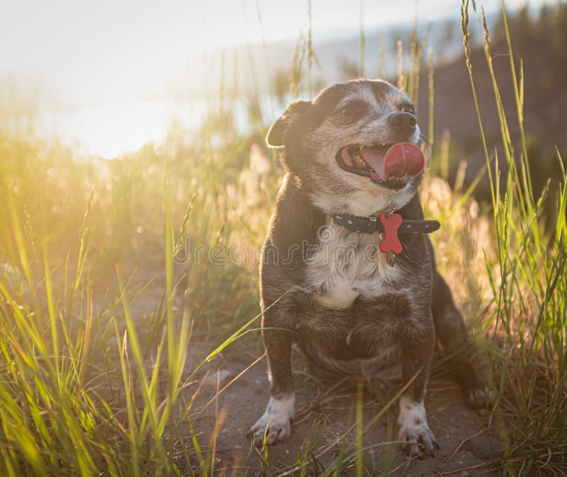 Chubby Chihuahua Dog At Sunset foto de stock