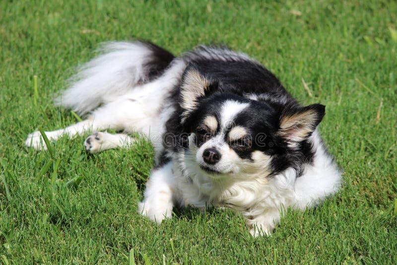 Chubby Chihuahua tycker om solsken royaltyfri bild