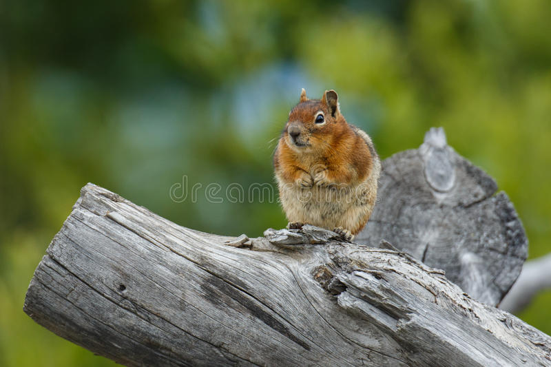 Chubby Chipmunk fotografia de stock royalty free