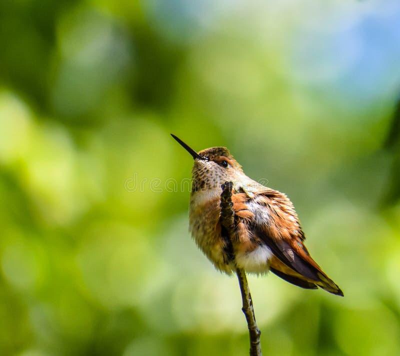 Chubby Hummingbird images stock