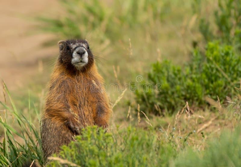 Chubby Marmot Sits Up e sguardi intorno fotografie stock
