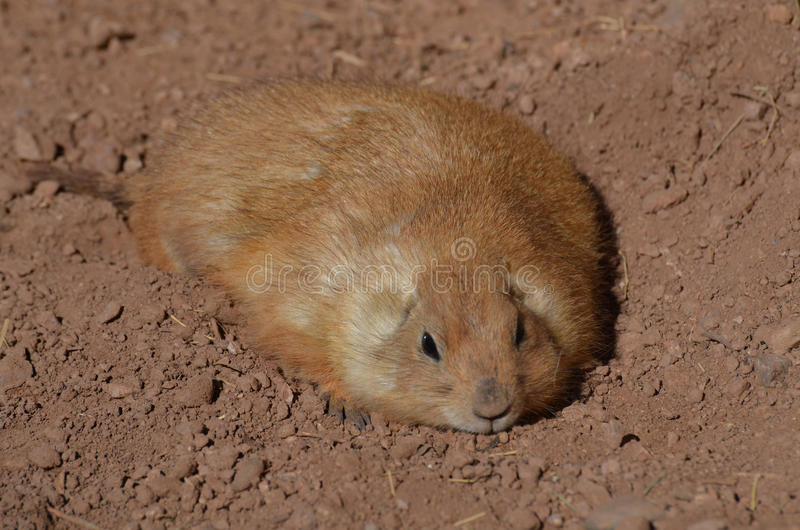 Fantastic Brown Chubby Adorable Dog - chubby-prairie-dog-resting-shallow-hole-adorable-fat-dirt-90093079  Collection_3658  .jpg