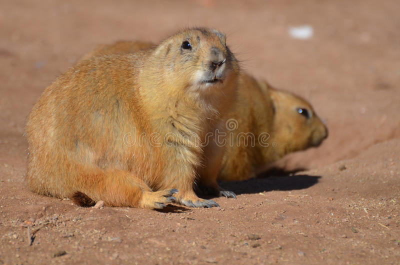 Best Black Chubby Adorable Dog - chubby-prairie-dog-sitting-up-his-friend-adorable-overweight-90093432  You Should Have_136140  .jpg