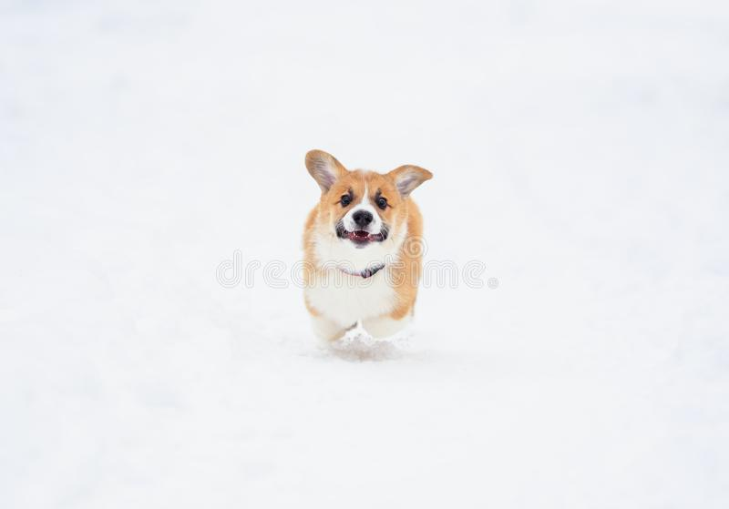 Chubby puppy dog red Corgi fun running on the white snow in the winter garden on the walk stock photography