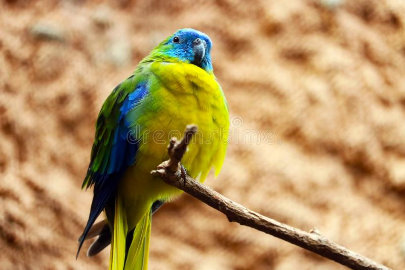 Chubby turquoise parrot sitting on a branch stock photos