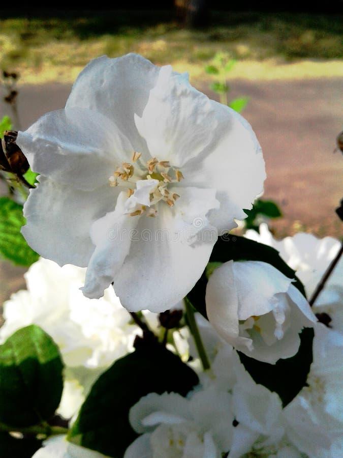 Chubushnika dei fiori bianchi Germogli delicati della molla fotografia stock