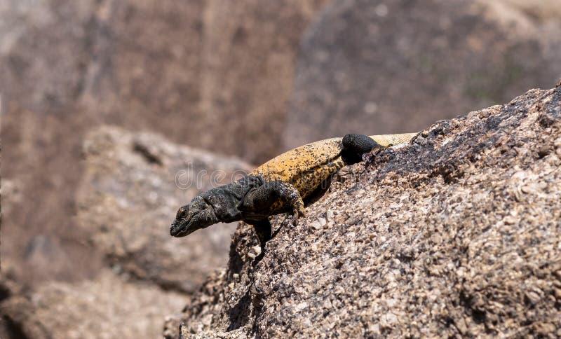 Chuckwalla沙漠蜥蜴在亚利桑那 免版税库存照片
